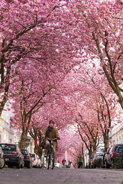 Cherry Blossom「Cherry Blossoms In Bonn」:写真・画像(14)[壁紙.com]