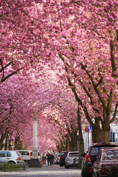 桜「Cherry Blossoms In Bonn」:写真・画像(1)[壁紙.com]
