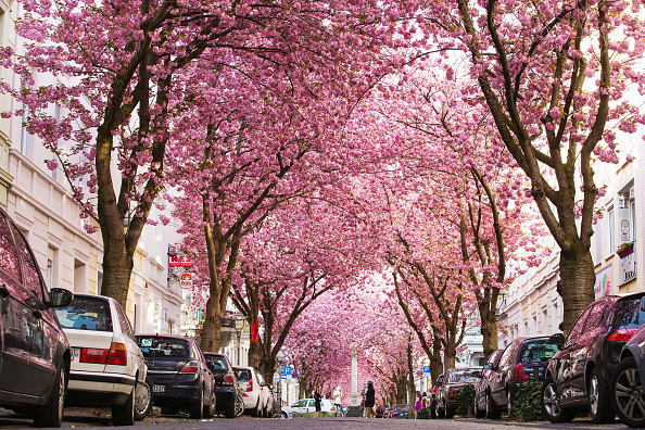 桜「Cherry Blossoms In Bonn」:写真・画像(5)[壁紙.com]
