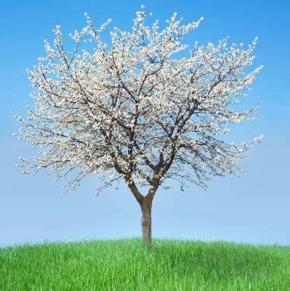 Cherry Blossom「ブルーミングサクラの木とブルースカイ」:スマホ壁紙(0)