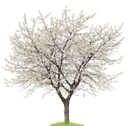 Petal「Blooming Cherry Tree On White」:スマホ壁紙(17)