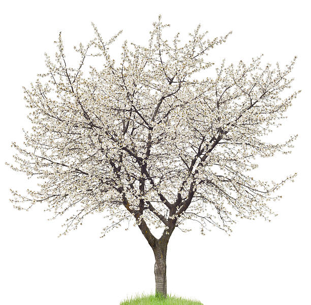 Blooming Cherry Tree On White:スマホ壁紙(壁紙.com)