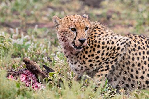 African Cheetah「Cheetah eating a baby wildebeest in Africa」:スマホ壁紙(17)