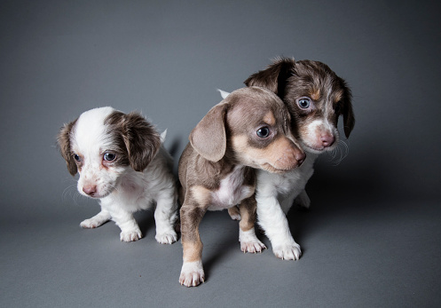 Charitable Foundation「Three Dachshund-Terrier Puppies Playing - The Amanda Collection」:スマホ壁紙(13)