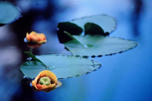 Water Lily「Lily pads, Petersburg, AK」:スマホ壁紙(3)
