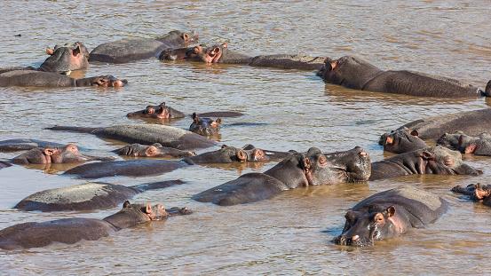 カバ「Hippos lazing in Mara River waters.」:スマホ壁紙(4)