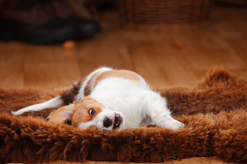 Rolling on Back「Kooikerhondje puppy rolling around on sheepskin」:スマホ壁紙(14)
