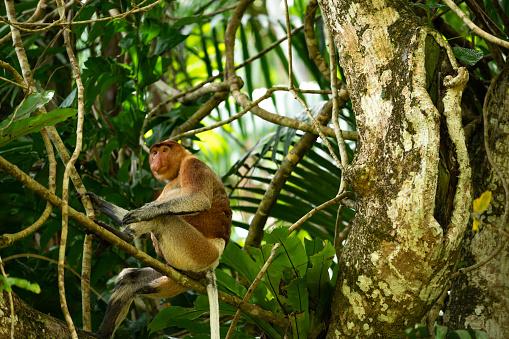 Ecosystem「Proboscis monkey sitting on branch in rainforest」:スマホ壁紙(17)