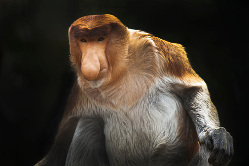 The Nature Conservancy「Proboscis Monkey」:スマホ壁紙(17)