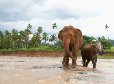 Sri Lanka「Elephant squirting water」:スマホ壁紙(11)