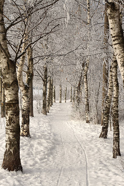 Birches alley in the winter with snow all over the field:スマホ壁紙(壁紙.com)