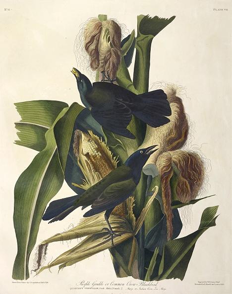 Songbird「Purple Grakle Or Common Crow Blackbird」:写真・画像(13)[壁紙.com]