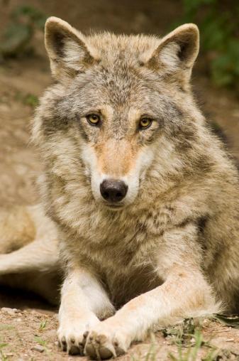 Animals Hunting「Wolf, Canis lupus」:スマホ壁紙(13)