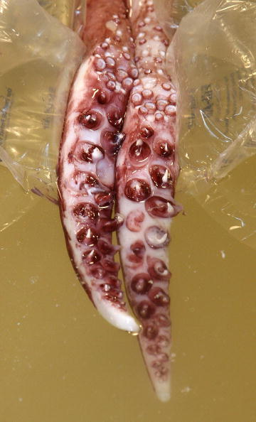 Tentacle「Giant Squid Defrosts At The Te Papa Museum」:写真・画像(6)[壁紙.com]