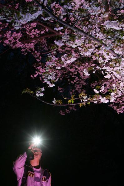 夜桜「Tourists Enjoy Cherry Blossoms In Yuyuantan Park」:写真・画像(7)[壁紙.com]