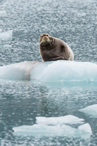 Arctic Ocean「Bearded Seal」:スマホ壁紙(19)