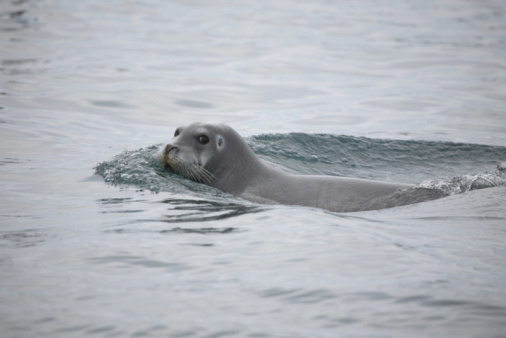 Pack Ice「Bearded Seal In The Arctic」:スマホ壁紙(7)