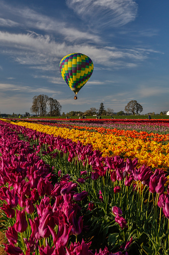 チューリップ「Hot air Balloon over tulip fields」:スマホ壁紙(6)