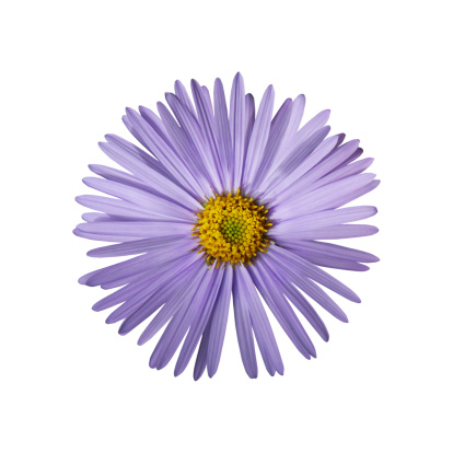 Aster「Aster Outlined on White」:スマホ壁紙(14)