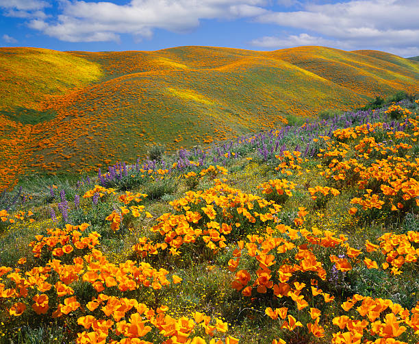 Golden poppies on a field next to hills in California:スマホ壁紙(壁紙.com)