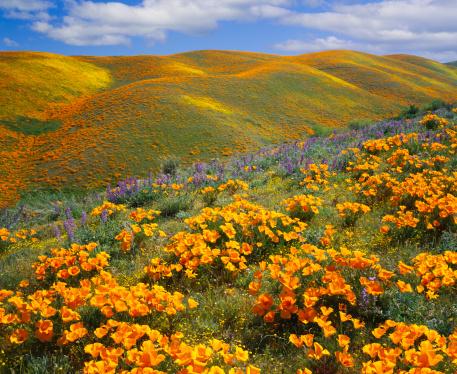 USA「Golden poppies on a field next to hills in California」:スマホ壁紙(8)