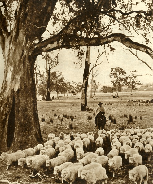 Mammal「Australia - A Drover With Some Of His Charges On A Sheep Station In The State Of Victoria」:写真・画像(4)[壁紙.com]
