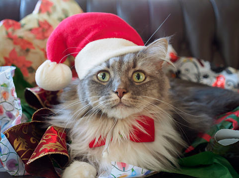 純血種のネコ「Grey and white long haired cat in a Santa hat at Christmas」:スマホ壁紙(14)
