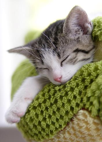 Animal Whisker「Grey and white kitten sleeping on a green blanket」:スマホ壁紙(10)
