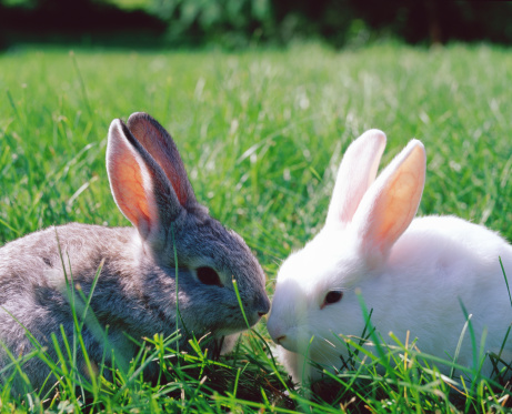 Baby Rabbit「Grey and white rabbits on grass」:スマホ壁紙(16)