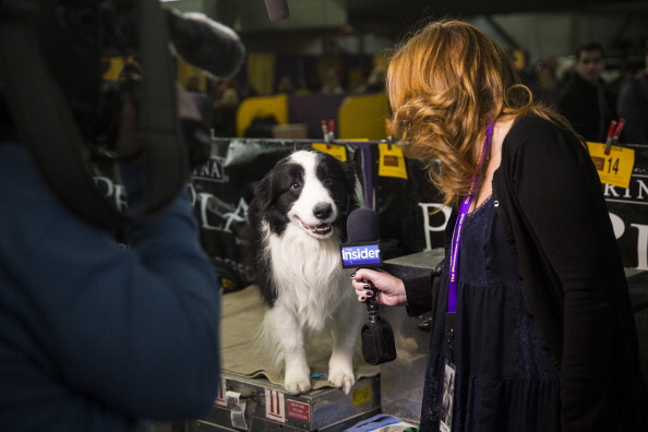 Interview - Event「Champion Canines Compete At Annual Westminster Dog Show」:写真・画像(17)[壁紙.com]