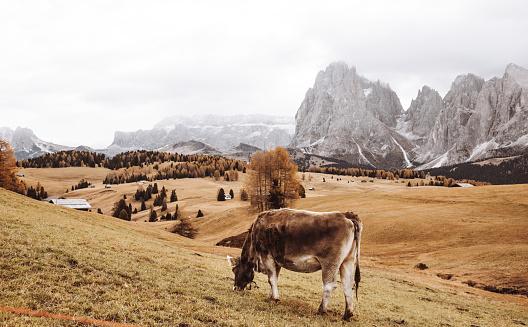 北チロル「フォア グラウンドで牛と南チロル ビュー」:スマホ壁紙(14)