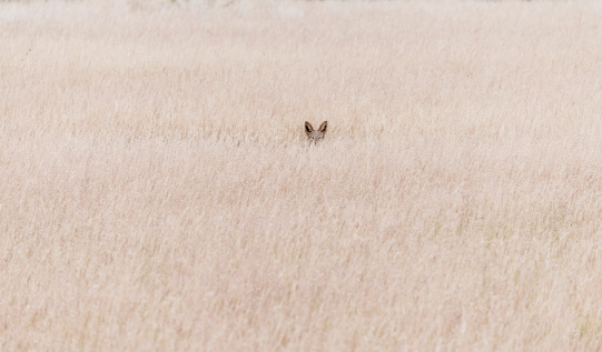 Animals Hunting「Namibia, Damaraland, Jackal in veld」:スマホ壁紙(3)