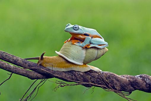 カタツムリ「Tree frog sitting on snail, Indonesia」:スマホ壁紙(1)