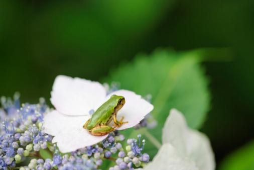 あじさい「Tree Frog Sitting on a Hydrangea, Hyogo Prefecture, Japan」:スマホ壁紙(9)