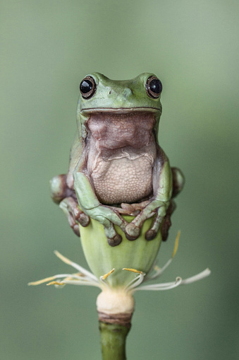 Water Lily「Tree frog sitting on a lotus flower」:スマホ壁紙(1)