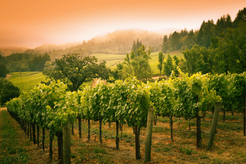 Vineyard「Grapevines Vineyard Sunset Landscape in Napa Valley Winery in California」:スマホ壁紙(14)