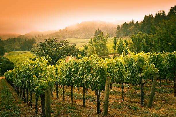 Grapevines Vineyard Sunset Landscape in Napa Valley Winery in California:スマホ壁紙(壁紙.com)