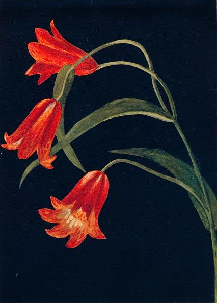 Wildflower「Scarlet Fritillaria,  c1915, (1915)」:写真・画像(19)[壁紙.com]