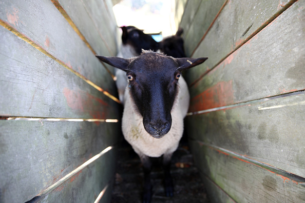 animal「New Zealand Sheep Farmers Face Ongoing Struggle Amid Drought And COVID-19 Lockdown」:写真・画像(15)[壁紙.com]