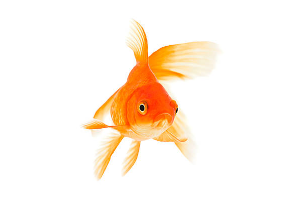 Goldfish on a white background:スマホ壁紙(壁紙.com)
