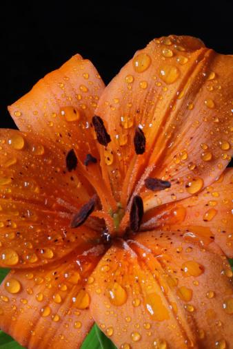 Flower Stigma「Orange Lily Macro」:スマホ壁紙(4)