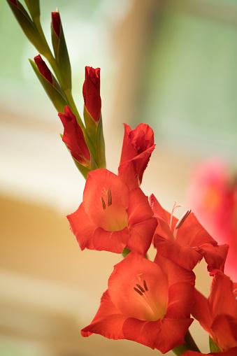 flower「Orange Red Gladiolus Flower. Summer Garden」:スマホ壁紙(16)