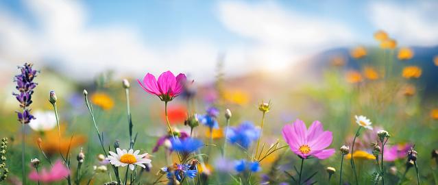 Cosmos Flower「Idyllic Meadow」:スマホ壁紙(2)
