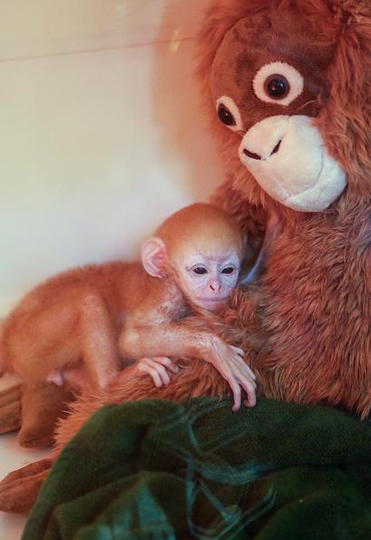 Primate「Bali Zoo Welcomes Newborn Javan Langur」:写真・画像(18)[壁紙.com]