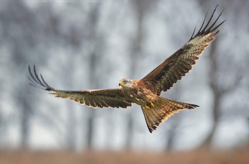 kite flying「Red kite (Milvus milvus) flying, England, UK」:スマホ壁紙(17)