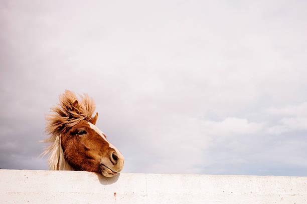 Icelandic Pony:スマホ壁紙(壁紙.com)
