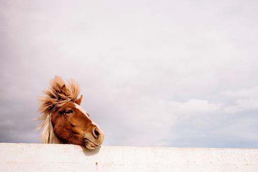 Animal Mane「Icelandic Pony」:スマホ壁紙(12)