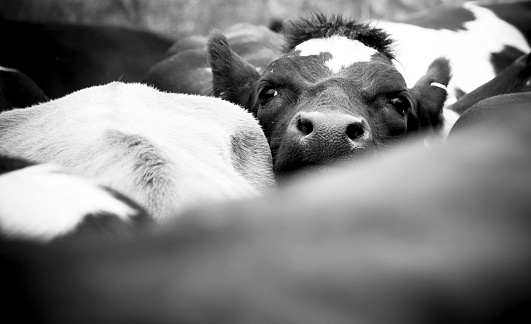 Effort「Crowded Cow in a Herd」:スマホ壁紙(5)