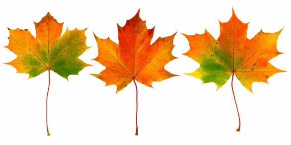 セイヨウカジカエデ「3 つの秋の葉」:スマホ壁紙(12)