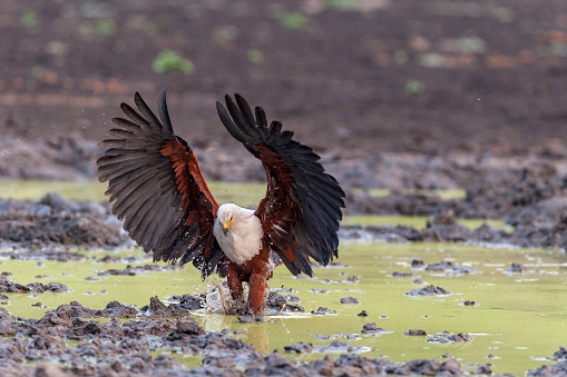African Fish Eagle「The African fish eagle catching a fish, using its large talons and broad wingspan. Kanga Pan, Mana Pools National Park, Zimbabwe」:スマホ壁紙(3)